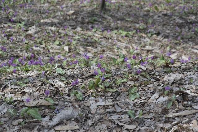 Spring Time 11 平栗のカタクリ その2