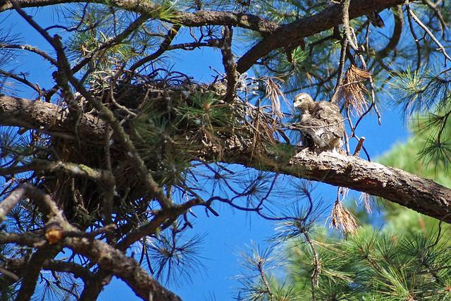 Northern Goshawk (Accipiter gentilis) fledgling by its nest.  New Mexico, USA.