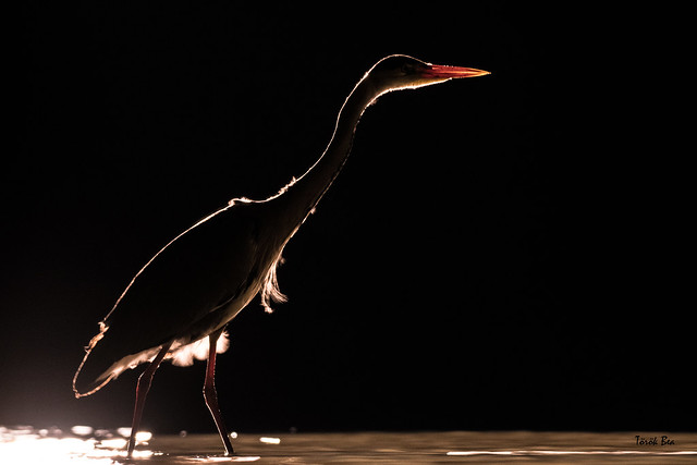 Night / Grey heron (Ardea cinerea)