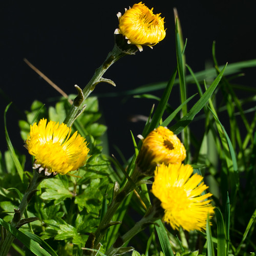 Coltsfoot by canal