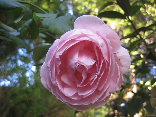 The Last Nahema Rose Bloom of Summer