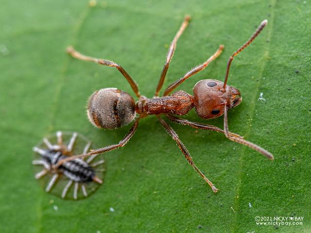 Ant (Dolichoderus sp.) - P3286729
