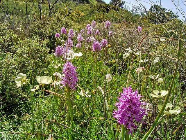 Orchis italica Italienisches Knabenkraut