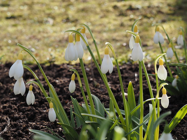 Galanthus 'Spindlestone Surprise'