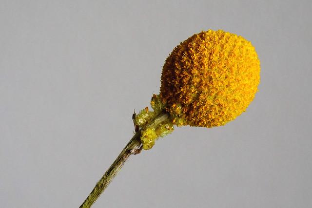 Craspedia of Drumstick Flower