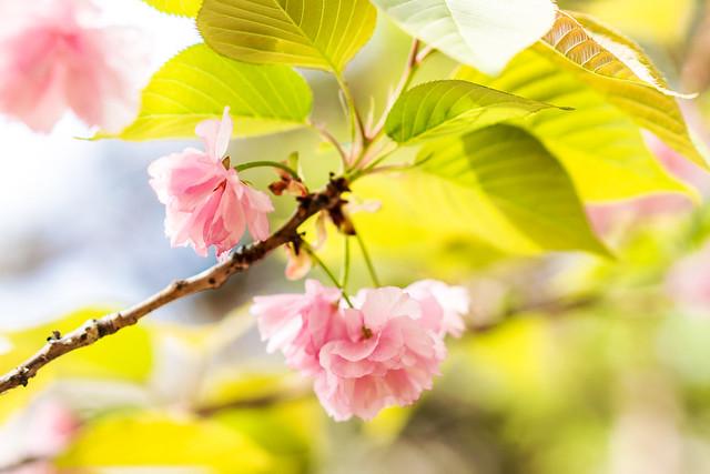 Double cherry (Kanzan) : 八重桜(関山)
