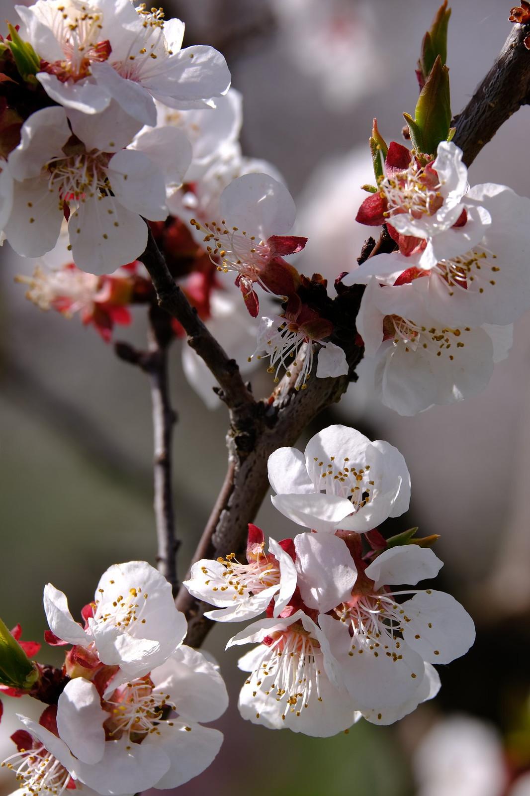 Marillen Blüte Wachau
