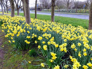 Daffodil carpet at Cottam Preston | by Tony Worrall