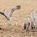 248A2100 sandhill cranes