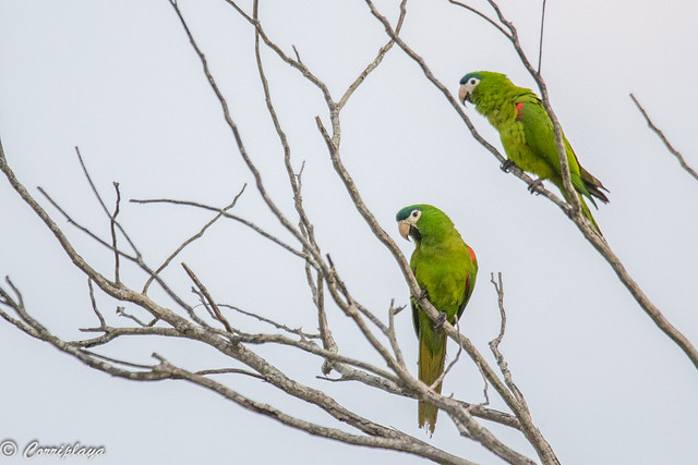 Guacamayo noble sureño, Diopsittaca cumanensis, Southern Red-shouldered Macaw