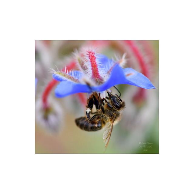 Borraja con abeja.