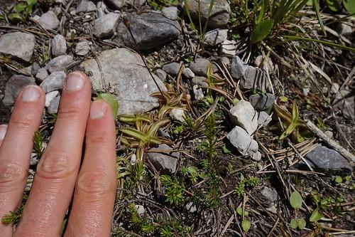 pinguicula alpina juillet 2020 (8)