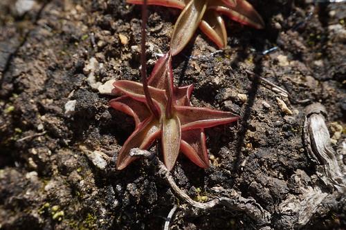 pinguicula alpina juillet 2020 (4)
