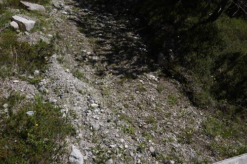 pinguicula alpina juillet 2020 (1)