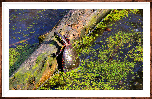 Almost but not quite. Painted turtle struggling to get on a log.After severl attempts he gave up and swam to another smaller log