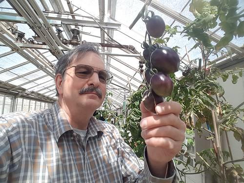 Myers & Midnight Roma purple tomato