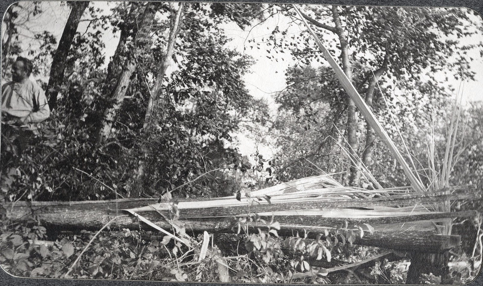 Вид дерева, сломанного ураганом 14 августа 1908 г., в лесу.