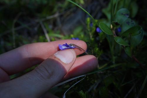 pinguicula vulgaris juillet 2020 (3)