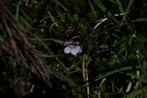 pinguicula vulgaris f bicolor juillet 2020 (17)