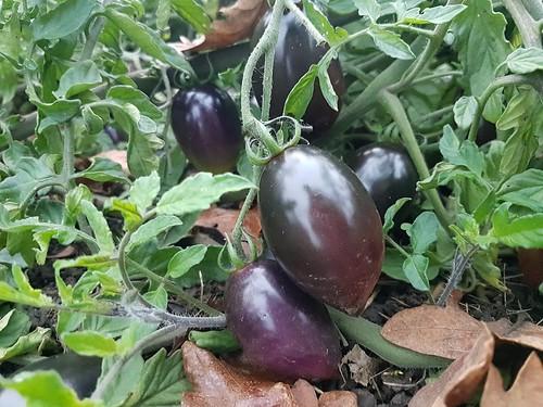 Midnight Roma purple tomato