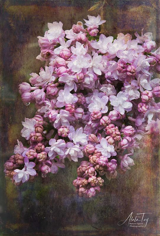 AToy_LilacBlossom-02_