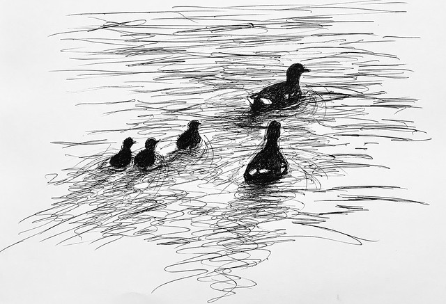 Moorhens with their young, on Gresford Lake, North Wales. Ballpoint pen drawing by jmsw on card.