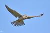 Common Kestrel,Turmfalke,Faucon crecerelle,Torenvalk,Falco tinnunculus