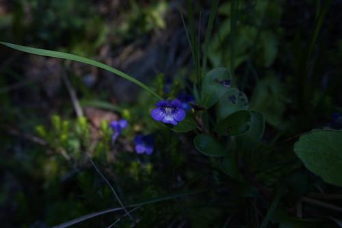 pinguicula vulgaris juillet 2020 (2)