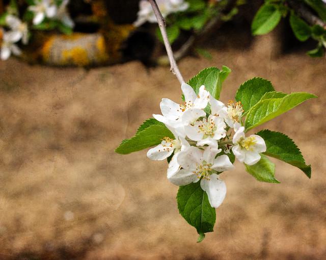 Flor de manzano/Apple blossom