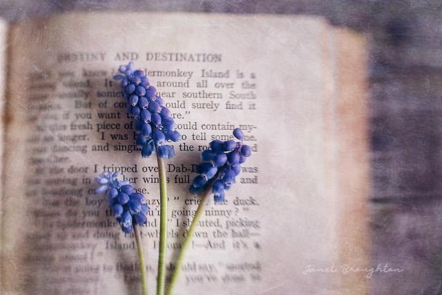 Grape Hyacinth #3