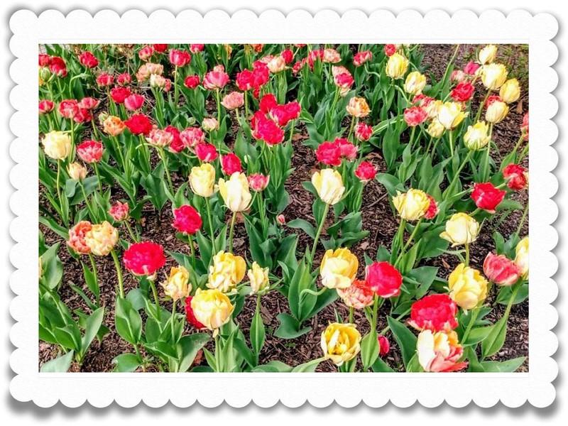 JWardzala_Tulip Time-01