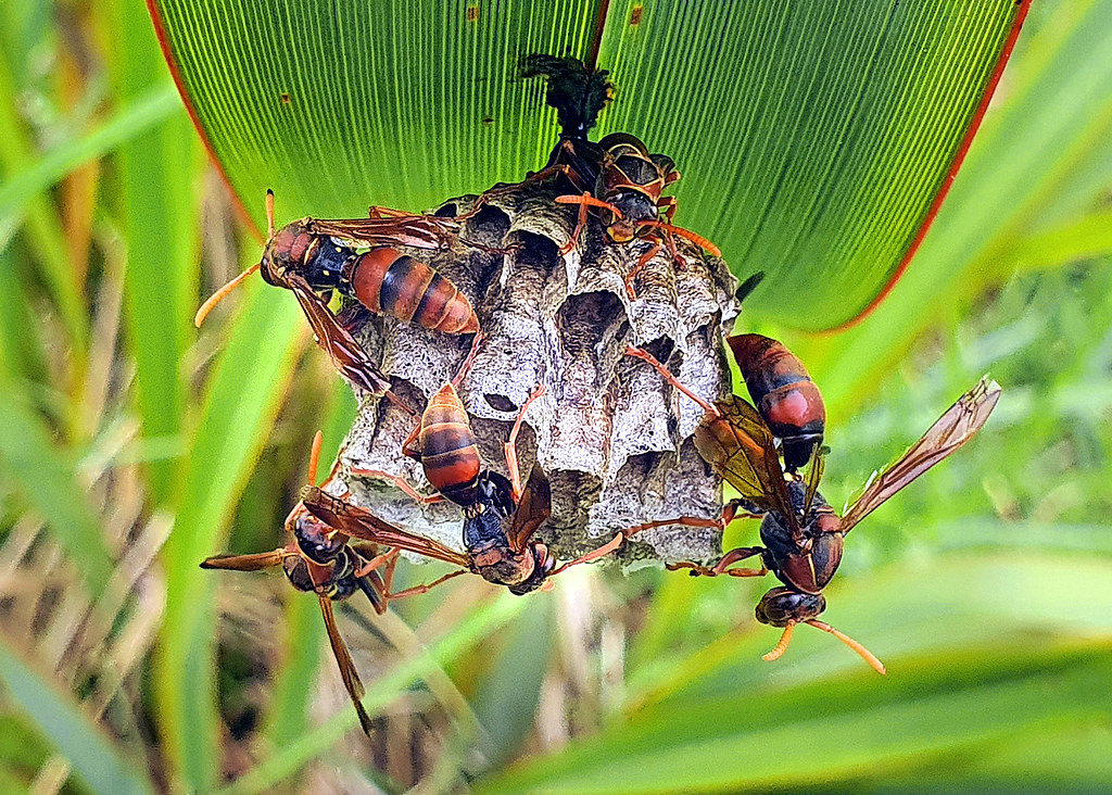 Australian paper wasp.