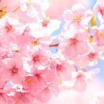 Sakura   ---Cherry blossoms---