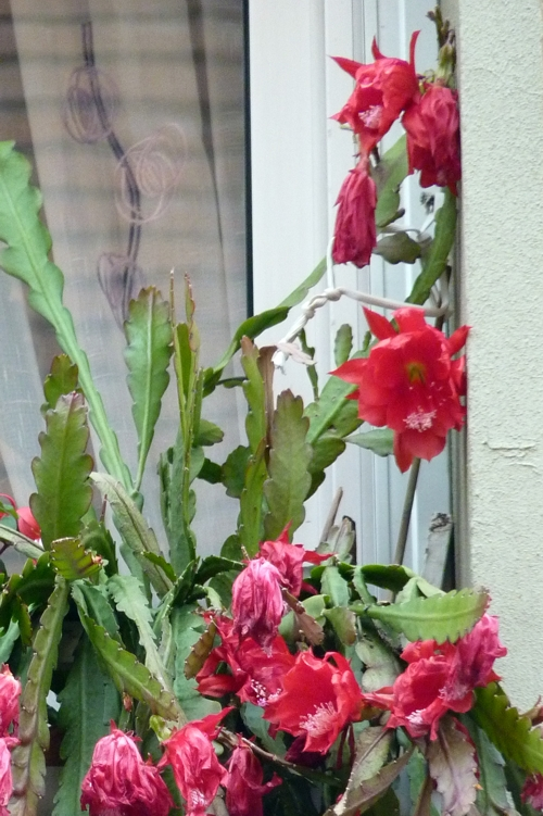 Disocactus phyllanthoides 51103484595_f4959aaf8f_o