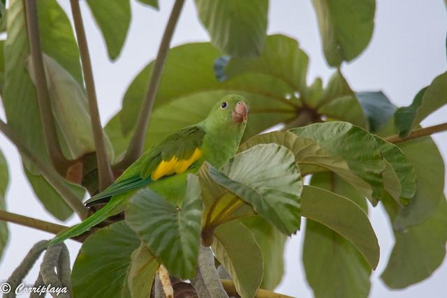 Catita chirirí, Brotogeris chiriri, Yellow-chevroned parakeet