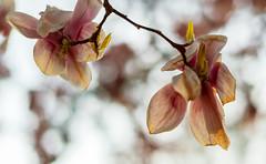 Late sun for Magnolia's
