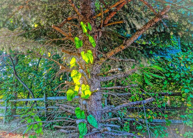 Leaves Catch Light on Amputated Tree