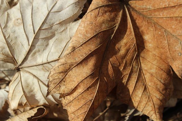 Faded leaves / Fakó levelek
