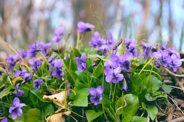 Violets in the forest / Ibolyák az erdőben