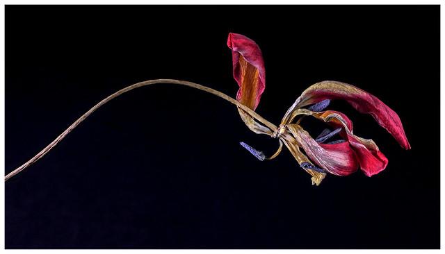 Flowers #37 2021; Dead Tulip