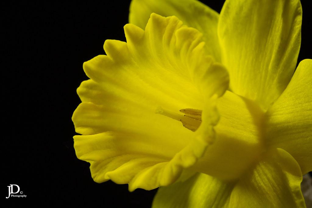 Daffodil, Narcissus pseudonarcissus 21 E