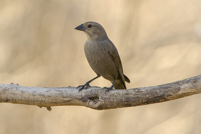 Brown-headed Cowbird (f) | Molothrus ater