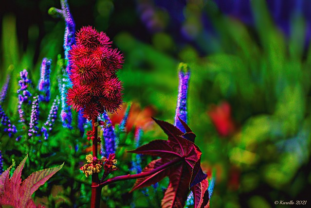 Red monster - Castor oil plant  - one of those poisonous flowers you must watch out for.