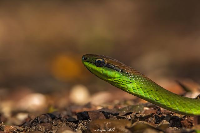 Culebra verde