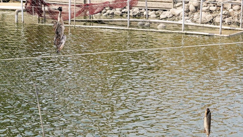 部分養殖戶也認為漁電共生或可避免鳥類光顧魚塭。孫文臨攝