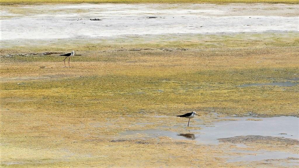 在正在曬池的魚塭中不時可見到鳥類利用。孫文臨攝