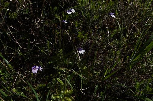 pinguicula vulgaris f bicolor juillet 2020 (14)