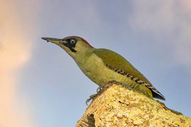 Grünspecht(Green Woodpecker))