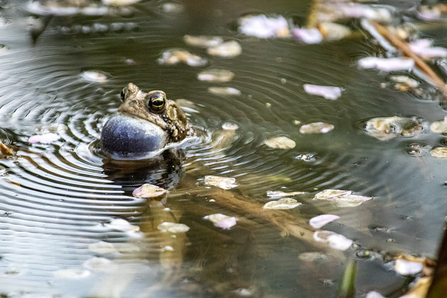 frog in the pond at Tregaron Conservancy
