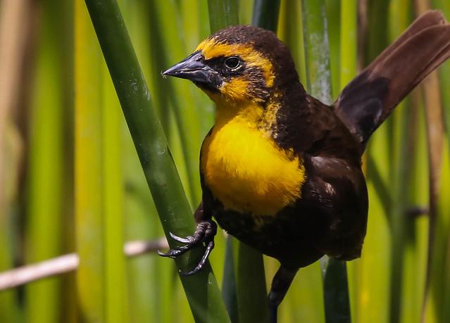 Yellow-headed Cobbler..... nah, Blackbird.     Ballona Freshwater Marsh Southern California_